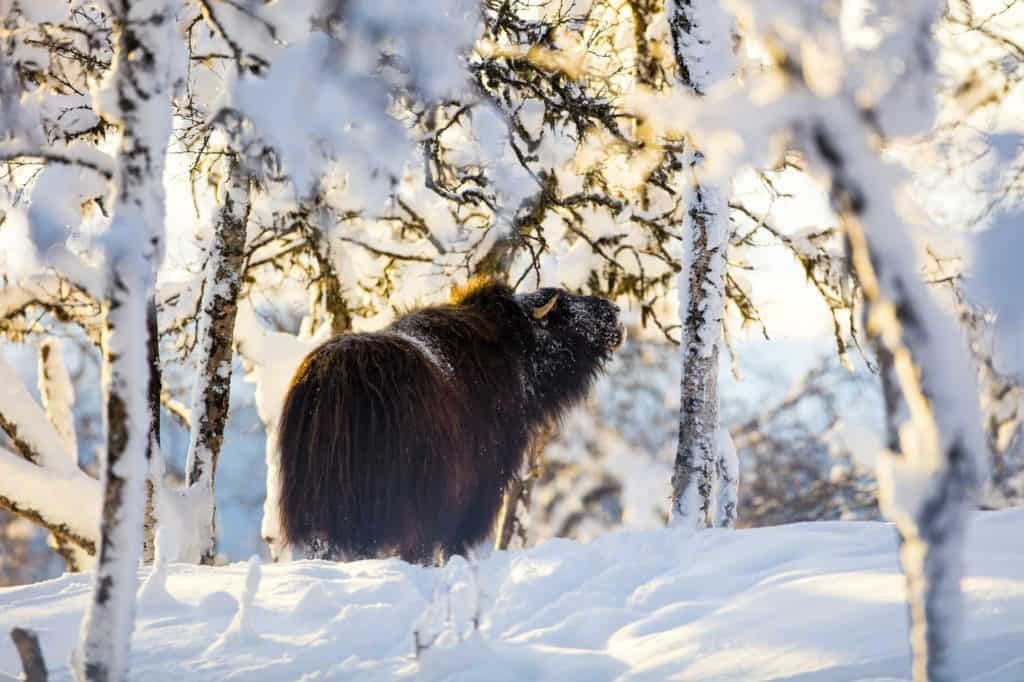 Large musk eating in the winter snow at sunset