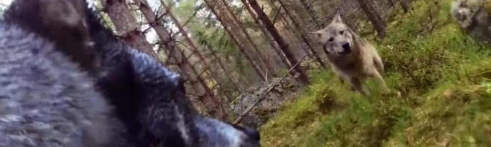 outdoorhub-video-wolf-attack-on-swedish-hunting-dog-caught-on-video-2015-10-22_18-07-45-880x540